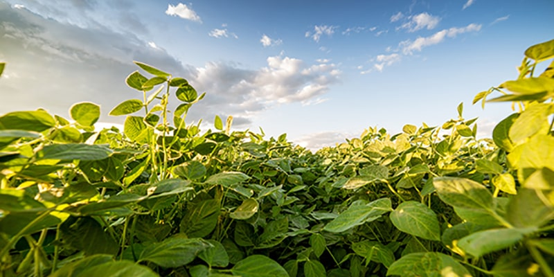 green ripening soybeans