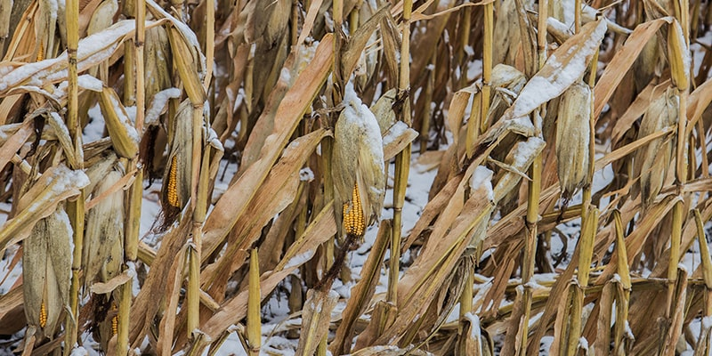 ripe corn with snow